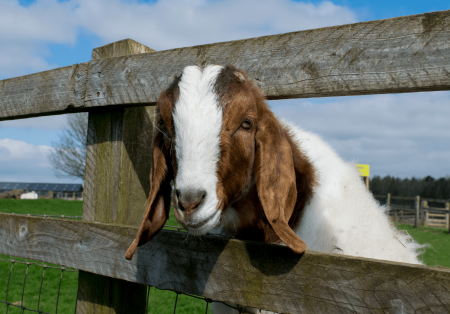 A goat comes to say hello at Adam Henson's Cotswold Farm Park